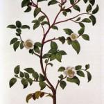 caj-rastlina
