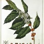 kava-rastlina