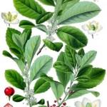 mate-rastlina